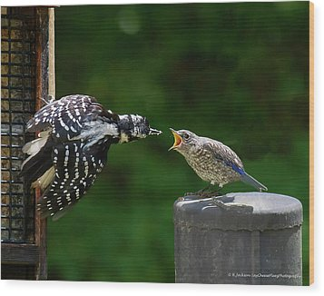 Woodpecker Feeding Bluebird Wood Print