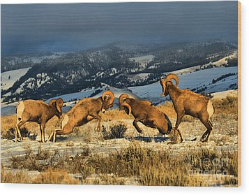 Wood Print featuring the photograph Wyoming Bighorn Brawl by Adam Jewell