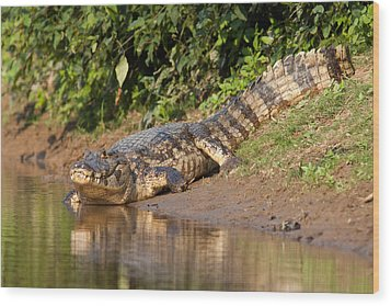 Alligator Crawling Into Yakuma River Wood Print