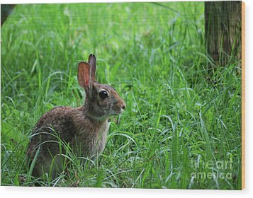 Yard Bunny Wood Print by Randy Bodkins