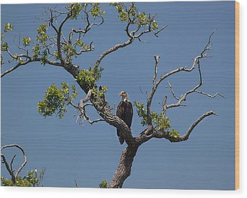 Yawkey Wildlife Reguge - American Bald Eagle Wood Print by Suzanne Gaff