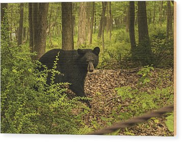 Yearling Black Bear Wood Print