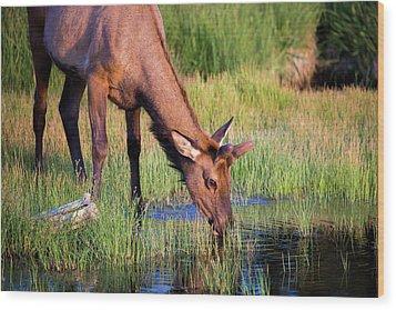 Yearling Elk Wood Print by Dan Pearce
