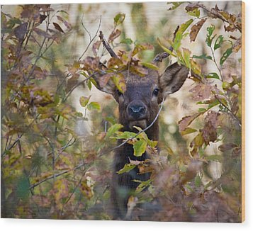 Wood Print featuring the photograph Yearling Elk Peeking Through Brush by Michael Dougherty
