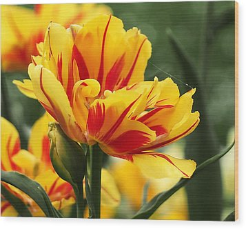 Wood Print featuring the photograph Yellow And Red Triumph Tulips by Rona Black