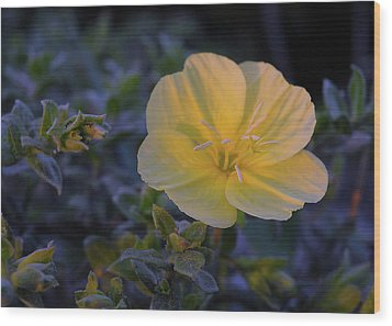 Wood Print featuring the photograph Yellow Beach Evening Primrose by Marie Hicks