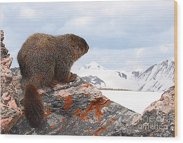 Yellow-bellied Marmot Enjoying The Mountain View Wood Print