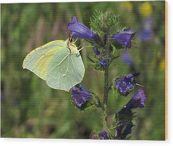 Wood Print featuring the photograph Yellow Brimstone Butterfly  by Jacqi Elmslie