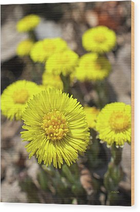Wood Print featuring the photograph Yellow Coltsfoot Flowers by Christina Rollo