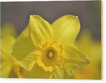 Yellow Daffodil Flower Wood Print by P S