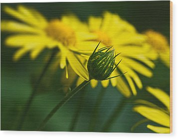 Yellow Daisy Bud Wood Print