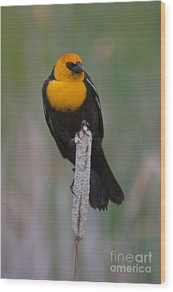 Yellow-headed Blackbird Wood Print