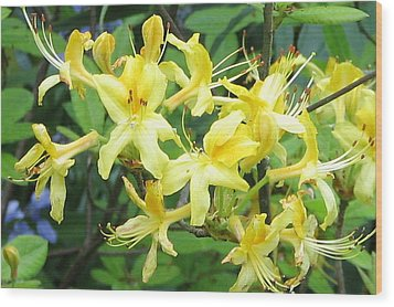 Yellow Rhododendron Wood Print by Carla Parris