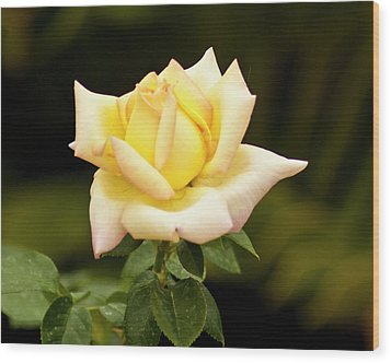 Yellow Rose Wood Print by Bill Barber
