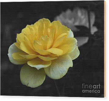 Yellow Rose In Bloom Wood Print