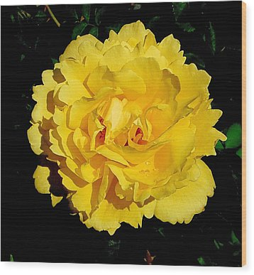 Yellow Rose Kissed By The Rain Wood Print