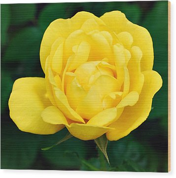 Wood Print featuring the photograph Yellow Rose by Marilynne Bull