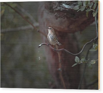 Yellow-rumped Warbler At Water Spout Wood Print
