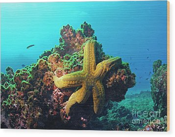 Yellow Sea Star On A Rock Underwater View Wood Print by Sami Sarkis