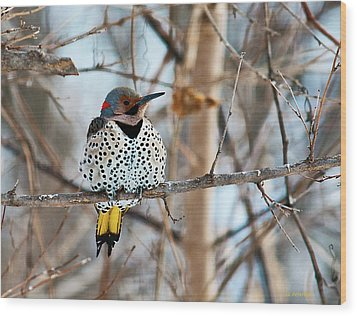 Yellow-shafted Northern Flicker Staying Warm Wood Print by Edward Peterson