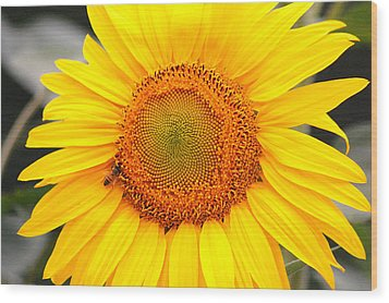 Yellow Sunflower With Bee Wood Print by Amy Fose