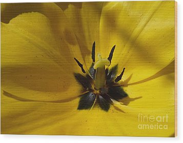 Yellow Tulip 1 Wood Print by Jean Bernard Roussilhe