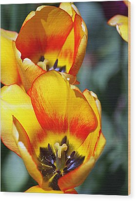 Yellow Tulip Wood Print by Marty Koch