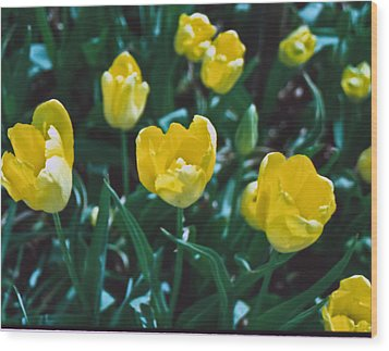 Wood Print featuring the photograph Yellow Tulips--film Image by Matthew Bamberg