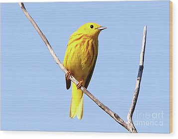 Yellow Warbler #1 Wood Print by Marle Nopardi