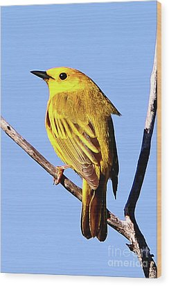 Yellow Warbler #2 Wood Print by Marle Nopardi