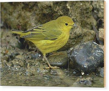 Yellow Warbler Wood Print by Doug Herr
