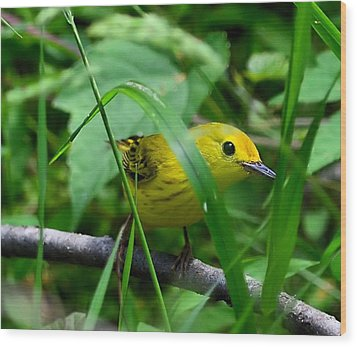 Yellow Warbler Wood Print by Kathy Eickenberg