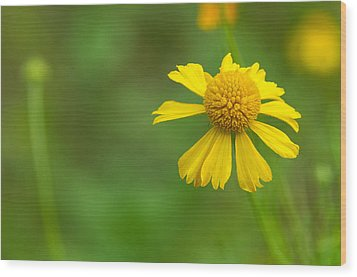 Yellow Wildflower Wood Print by Christopher L Thomley