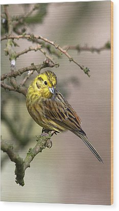 Yellowhammer Wood Print