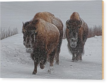 Yellowstone Bison Wood Print by DBushue Photography