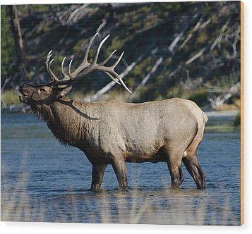 Yellowstone Park Elk Wood Print by Greg Sigrist