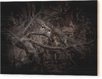 Yosemite Bobcat  Wood Print