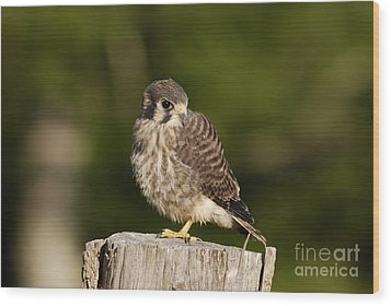 Young American Kestrel Wood Print by Randy Bodkins