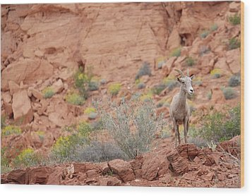 Wood Print featuring the photograph Young Big Horn Sheep  by Patricia Davidson