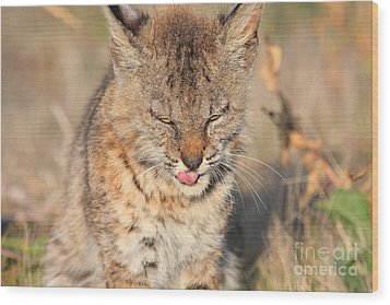 Young Bobcat 02 Wood Print by Wingsdomain Art and Photography