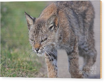 Young Bobcat 03 Wood Print by Wingsdomain Art and Photography