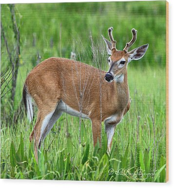 Wood Print featuring the photograph Young Buck by Barbara Bowen