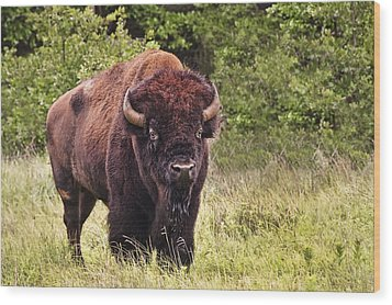 Young Buffalo Wood Print by Tamyra Ayles