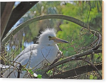 Young Great Egret Wood Print by Kenneth Albin
