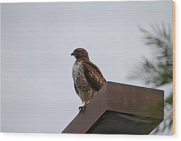 Young Hawk Wood Print by Jean Booth