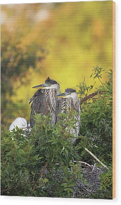 Young Herons Wood Print by Brian Magnier