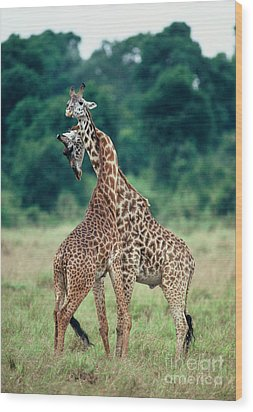 Young Male Giraffes Necking Wood Print by Greg Dimijian