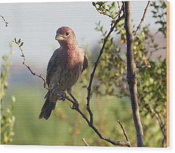 Young Male House Finch Wood Print