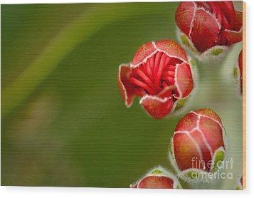 Young Ohia Lehua Blossom Wood Print by Kenton Wandasan