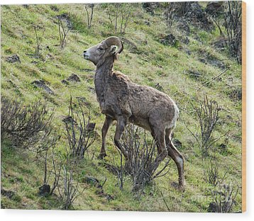 Wood Print featuring the photograph Young Ram Climbing by Mike Dawson